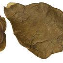 Image of <i>Fillaeopsis discophora</i> Harms