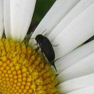 Image of <i>Mordella aculeata</i> Linnaeus 1758