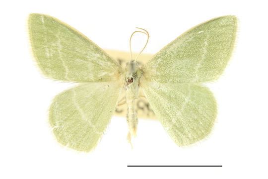 Image of small grass emerald