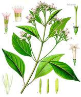Image of <i>Cinchona officinalis</i> L.