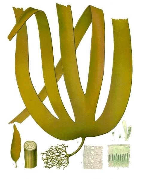 Image of <i>Laminaria hyperborea</i>