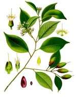 Image of <i>Payena leerii</i> (Teijsm. & Binn.) Kurz