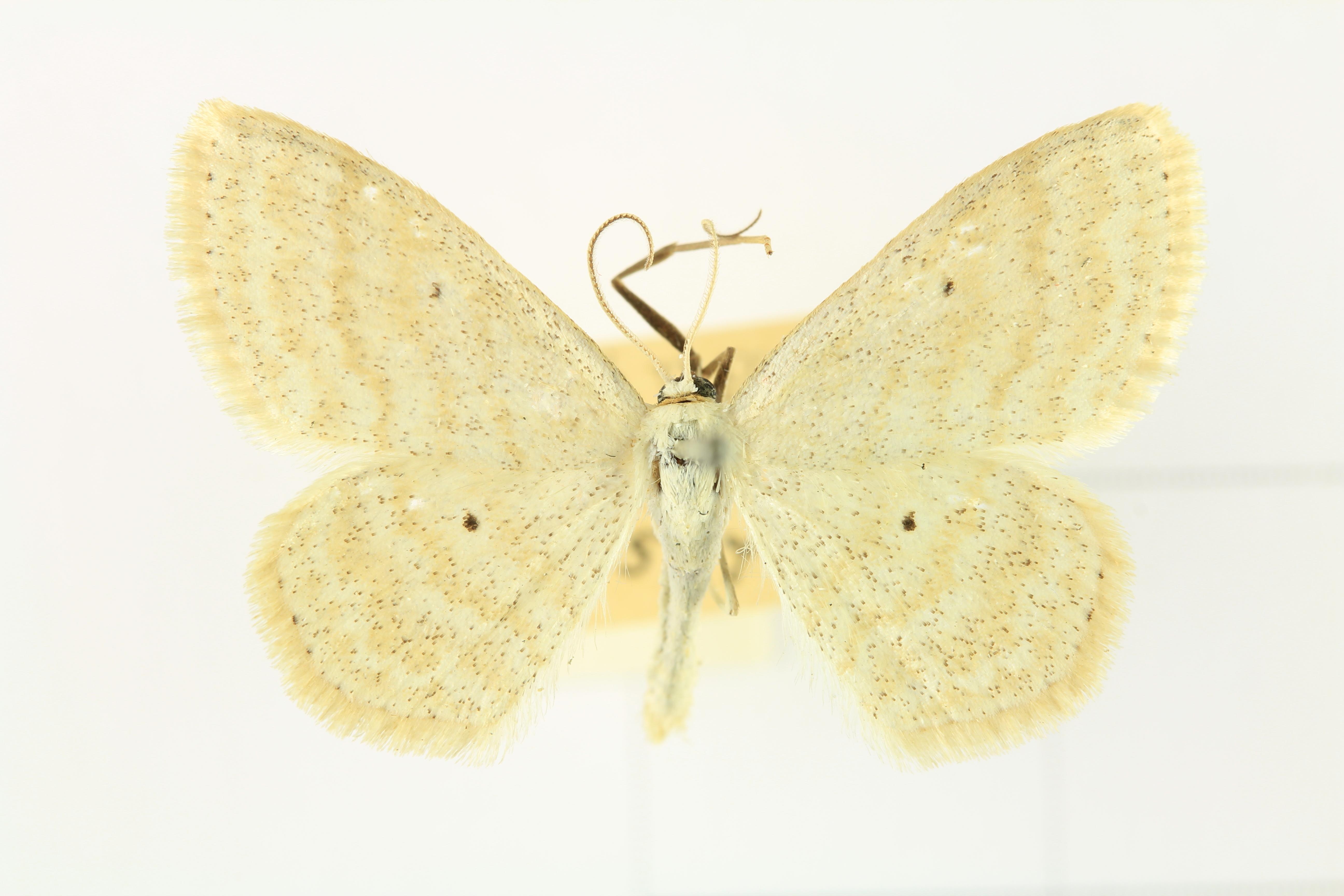 Image of <i>Scopula immutata</i> Linnaeus 1758