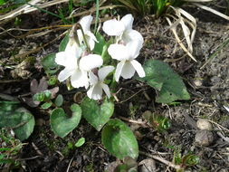 Image of White Violet