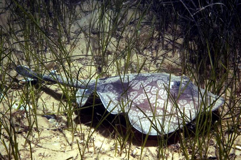 Image of Sinclair's Stingaree