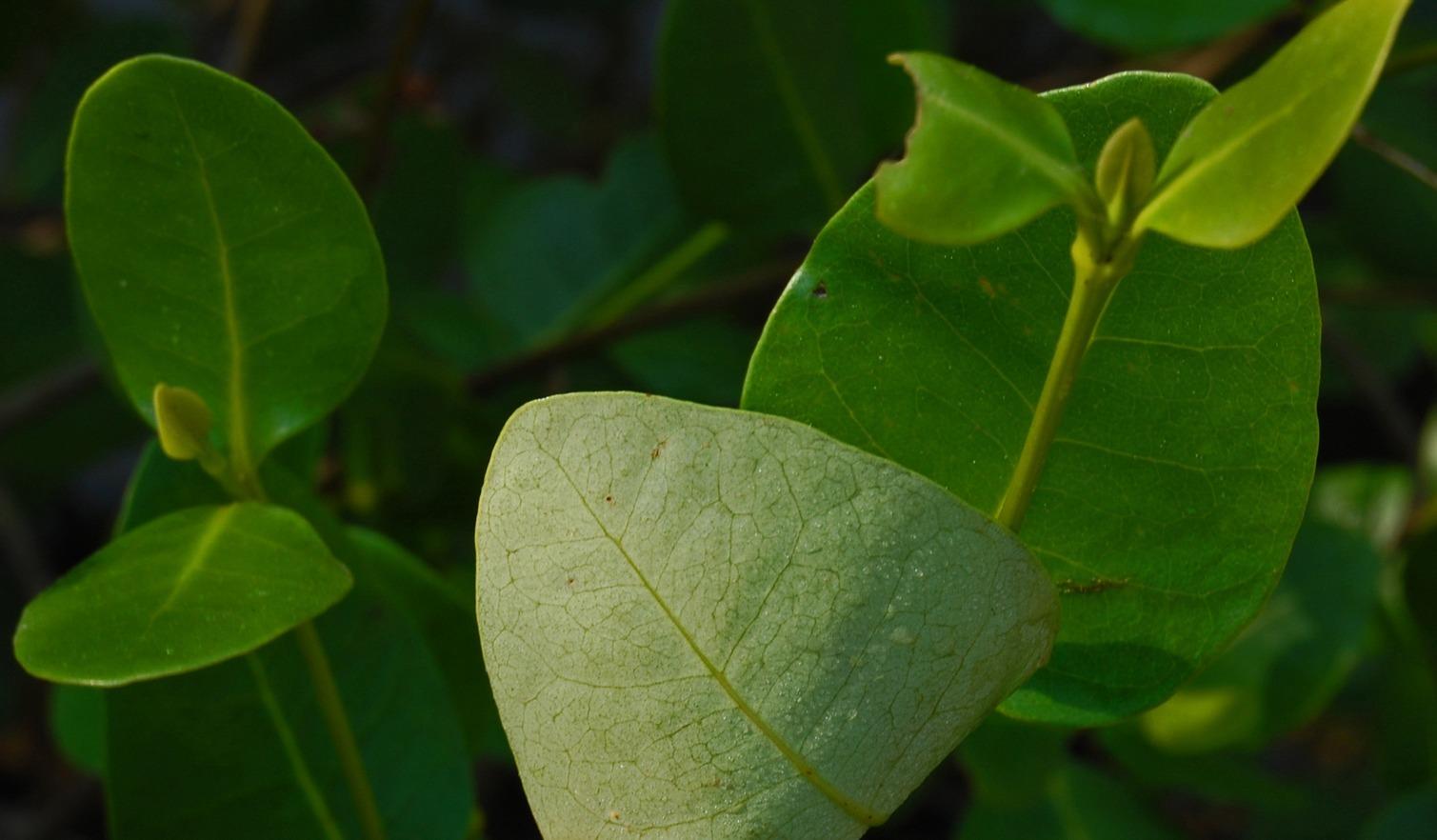 Image of Gray Mangrove