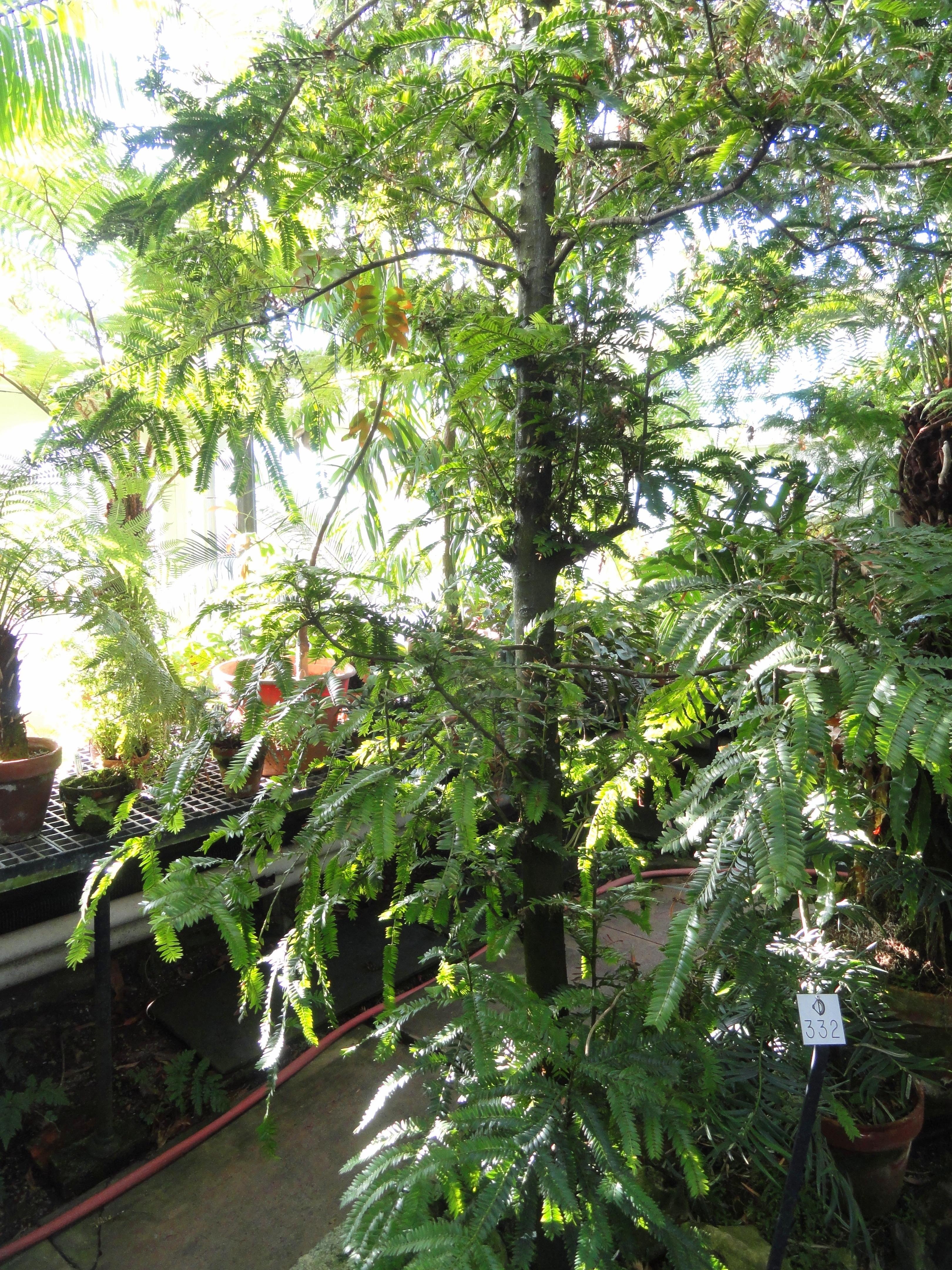 Image of <i>Retrophyllum rospigliosii</i> (Pilg.) C. N. Page