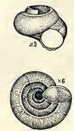 Image of Moelleriopsis