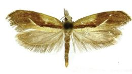 Image of <i>Ypsolopha costibasella</i>