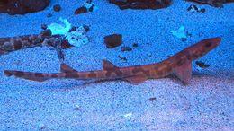 Image of Saddled Carpet Shark