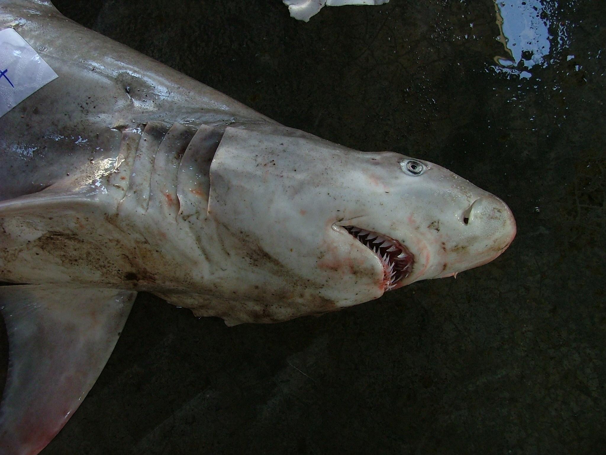 Image of Snaggletooth shark