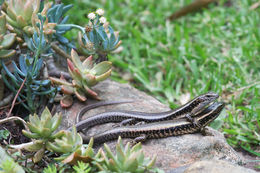 Image of Common Garden Skink