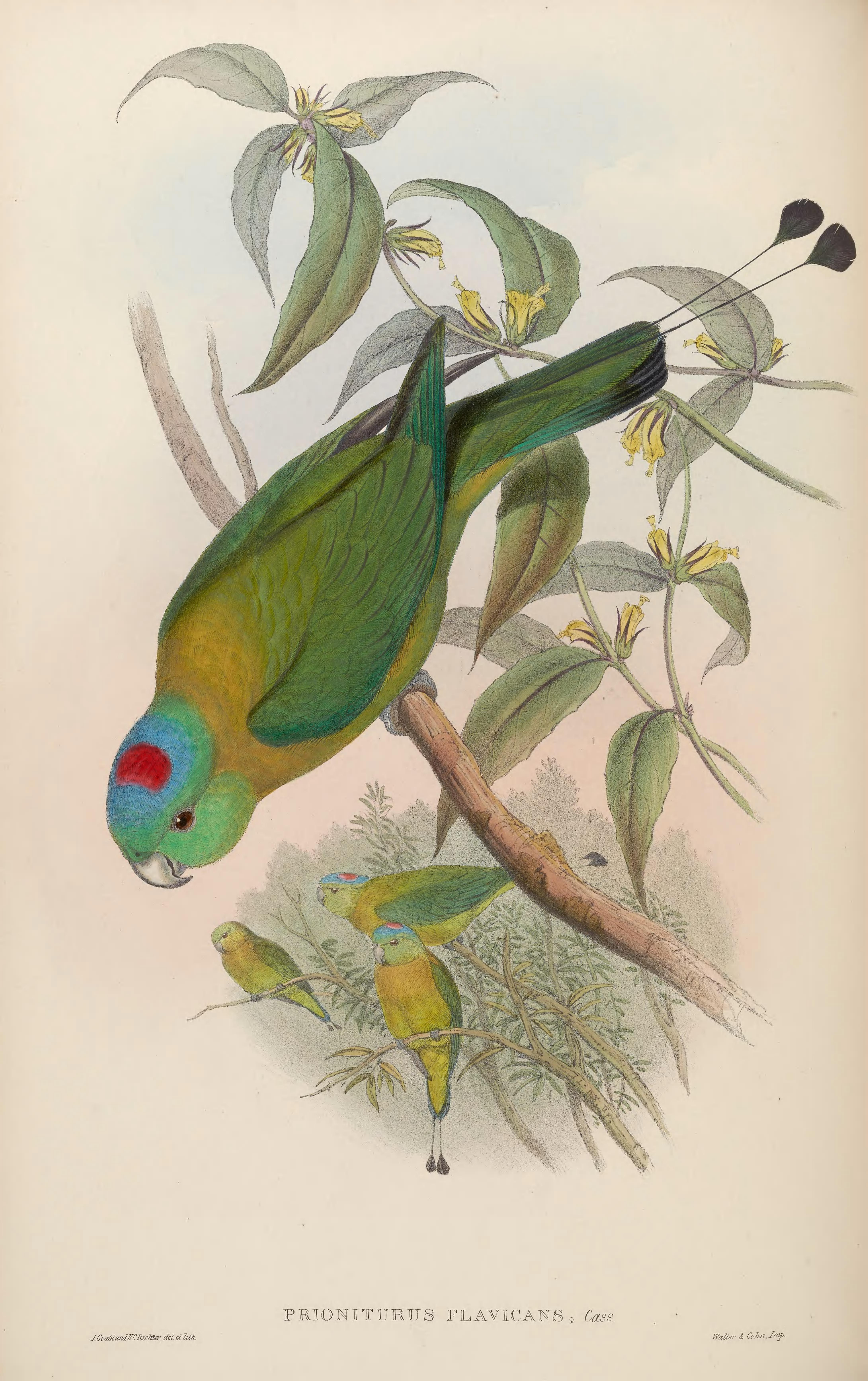 Image of Yellow-breasted Racket-tail