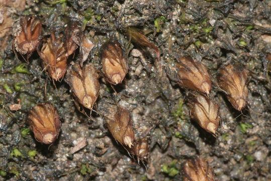 Image of Diphyscium