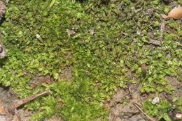 Image of diphyscium moss