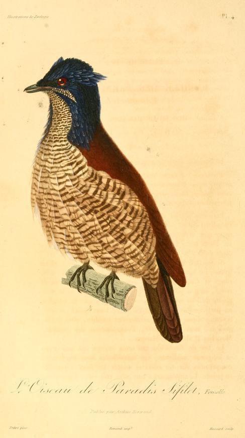 Image of Western Parotia