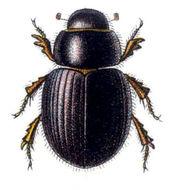Image of <i>Aegialia arenaria</i> (Fabricius 1787)