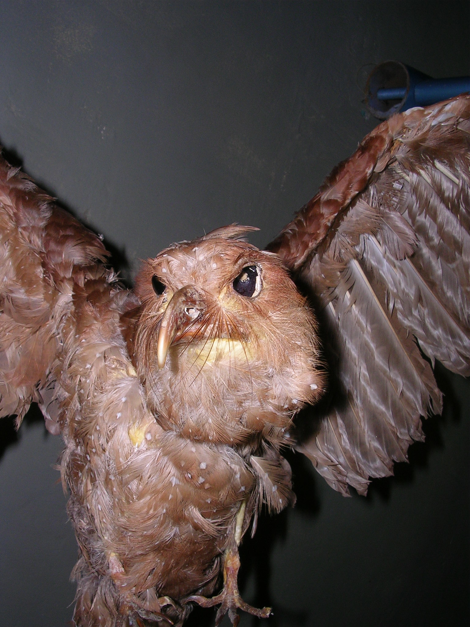 Image of Oilbird
