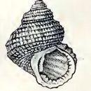 Image of <i>Danilia tinei</i> (Calcara 1839)