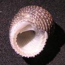 Image of <i>Euchelus atratus</i> (Gmelin 1791)