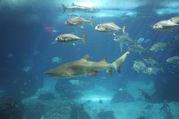 Image of Grey Nurse Shark