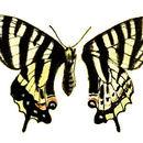 Image of <i>Luehdorfia puziloi</i> (Erschoff 1872)