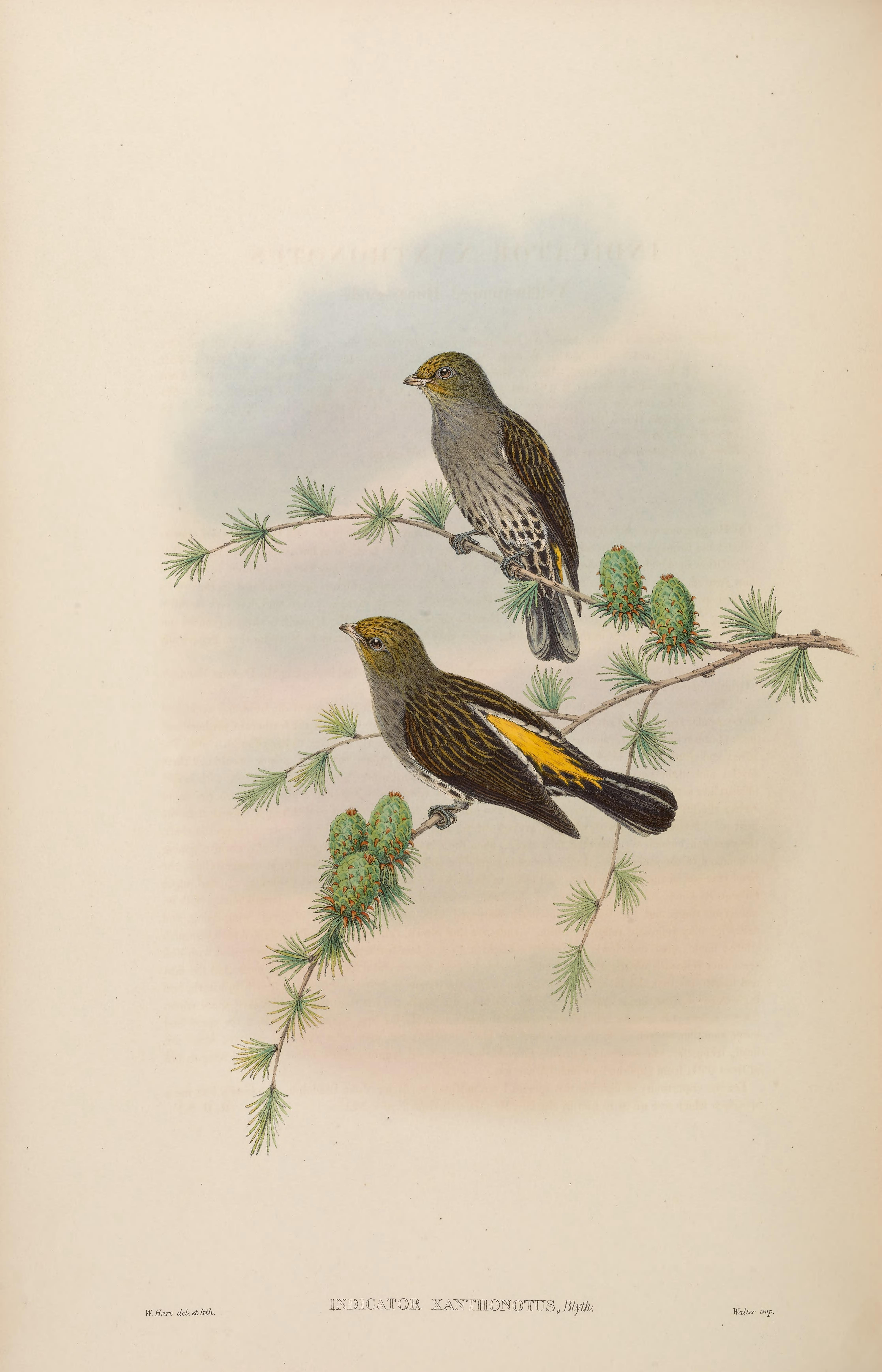 Image of Yellow-rumped Honeyguide