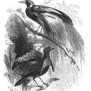 Image of Greater Lophorina