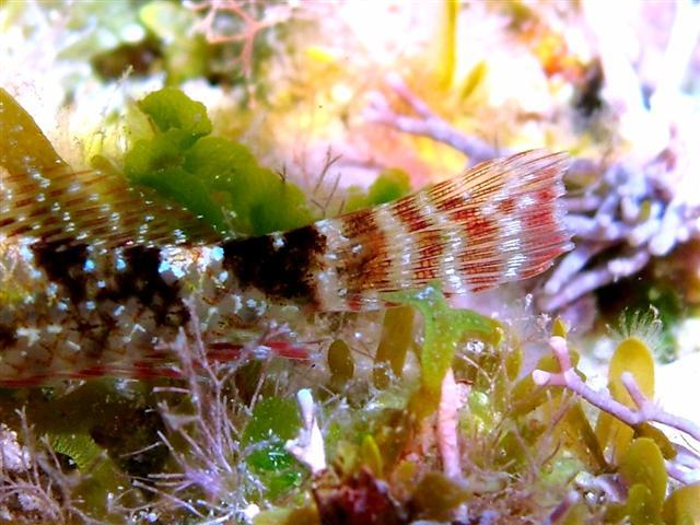 Image of <i>Tripterygion tartessicum</i> Carreras-Carbonell, Pascual & Macpherson 2007