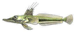 Image of Channichthys