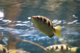 Image of Banded Archerfish