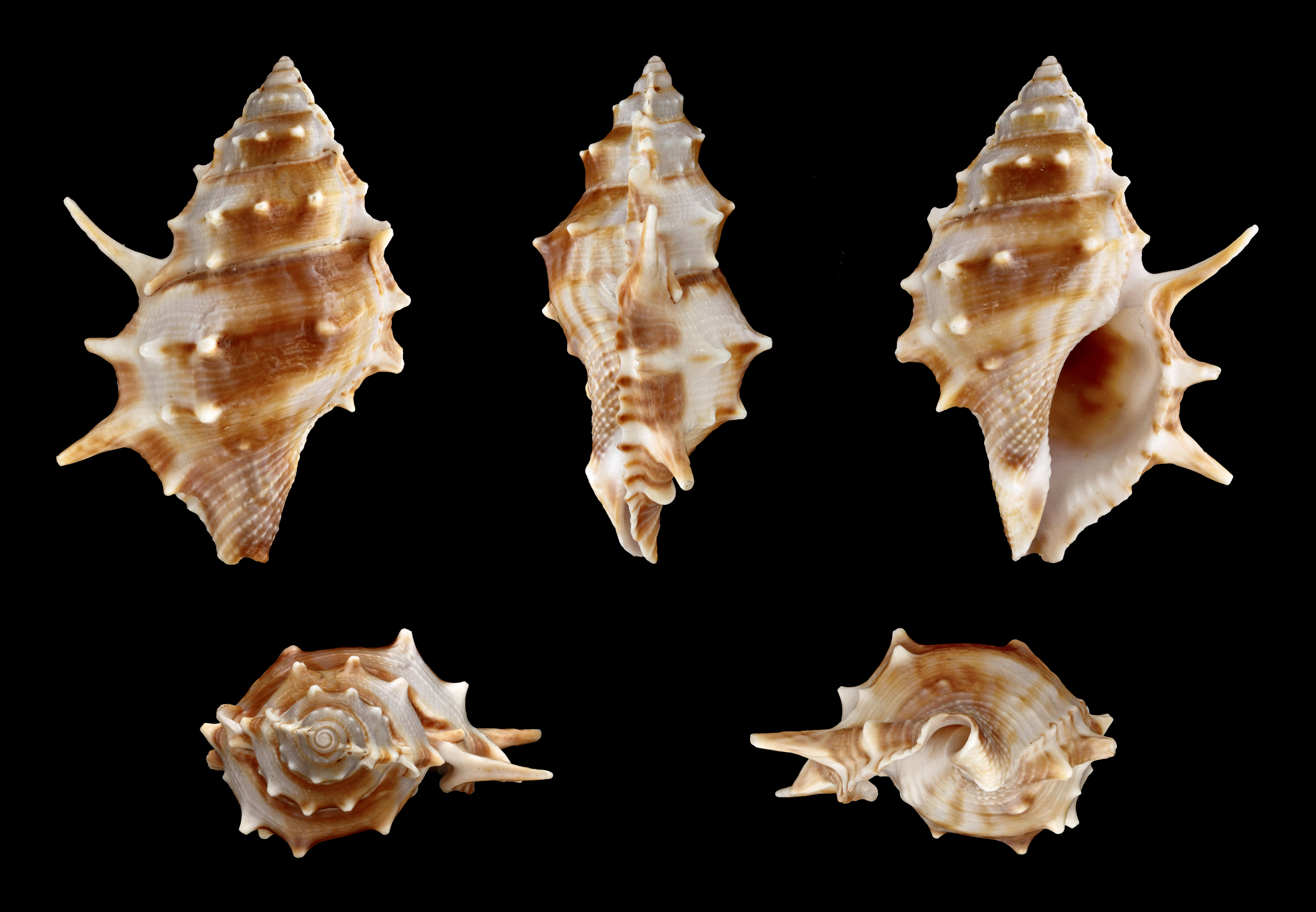 Image of spiny frogsnail