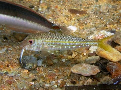 Image of Red Mullet