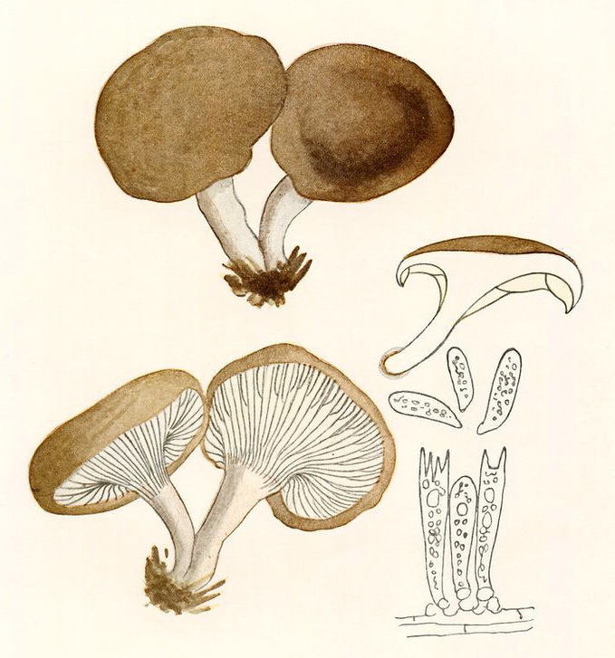 Image of King oyster