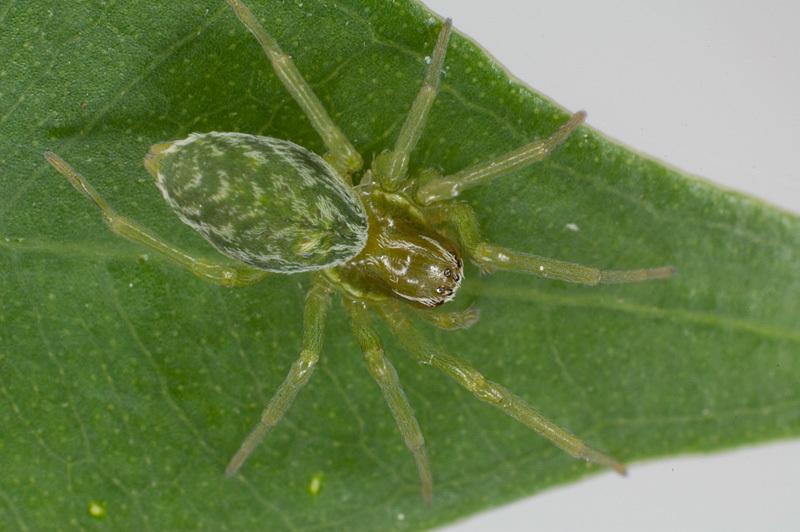 Image of <i>Nigma walckenaeri</i> (Roewer 1951)