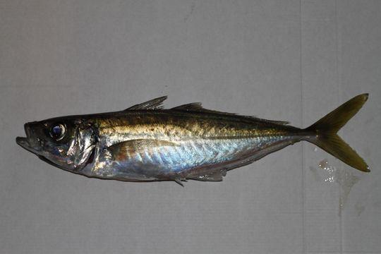 Image of Blue Jack Mackerel