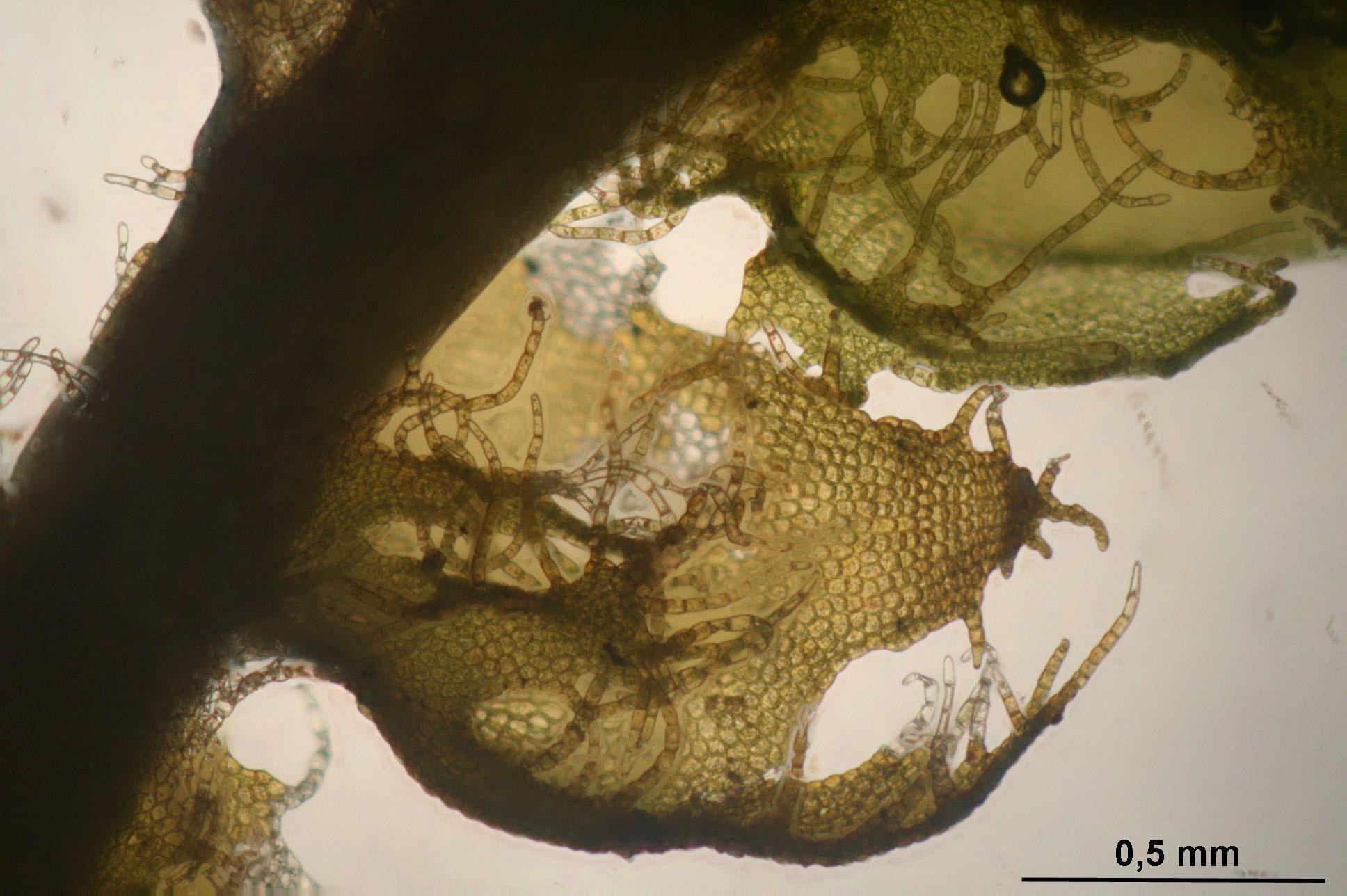Image of <i>Ptilidium ciliare</i> (L.) Hampe