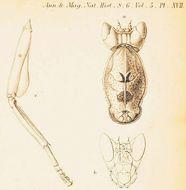Image of <i>Parymenopus davisoni</i>