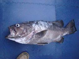 Image of Atlantic Wreckfish
