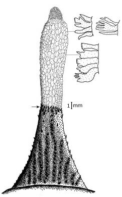 Image of Pogonophryne