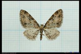 Image of <i>Eupithecia costimacularia</i> Leech 1897