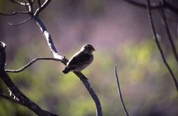 Image of Large Tree Finch