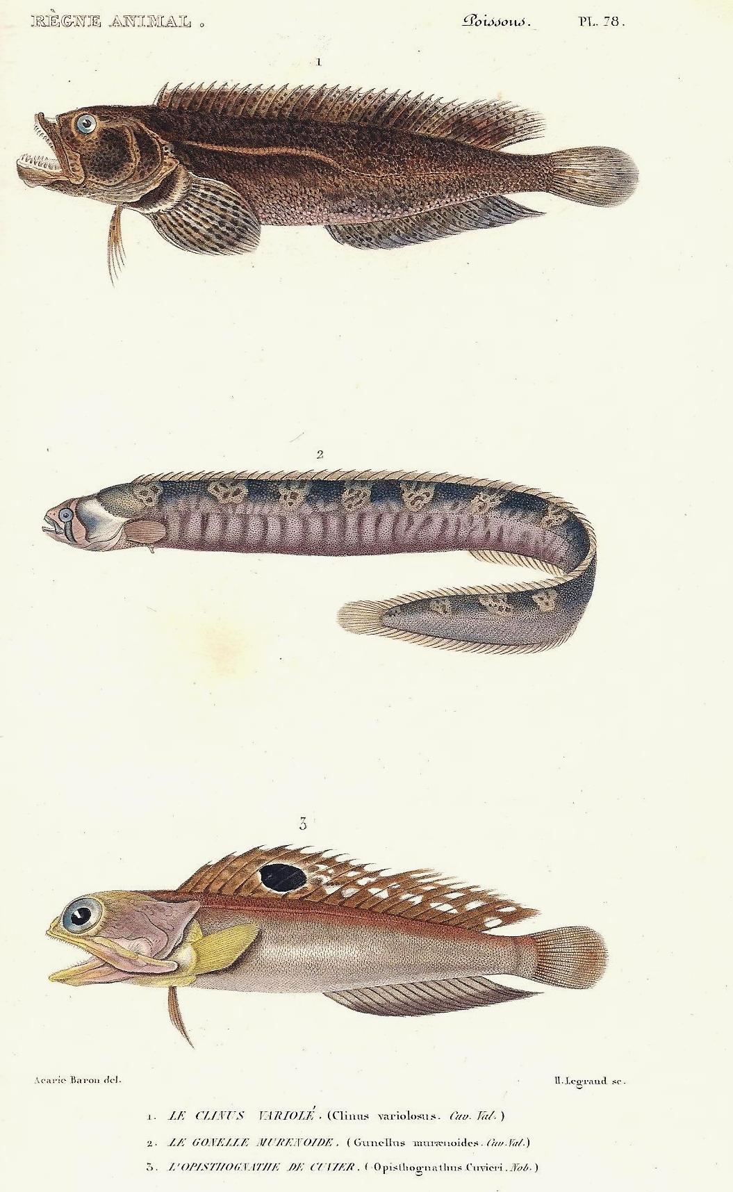 Image of <i>Pholis gunnellus</i> (Linnaeus 1758)