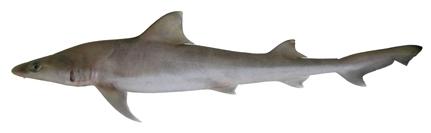 Image of Australian Weasel Shark