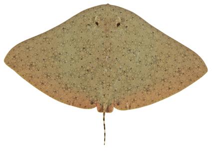 Image of Australian Butterfly Ray