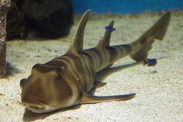 Image of Japanese Bullhead Shark