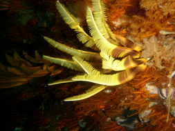 Image of elegant feather star