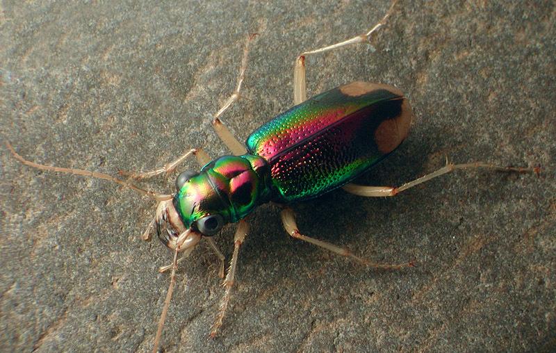Image of <i>Megacephala carolina</i>