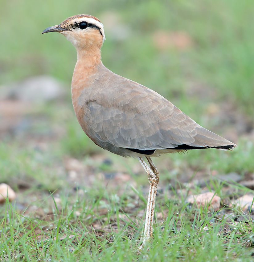 Image of Indian Courser