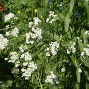 Image of Horseradish